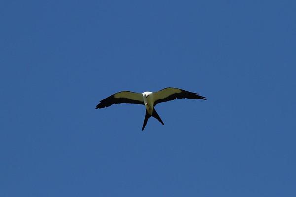 Swallow-tailed Kite Nominate subspecies Elanoides forficatus forficatus Family Accipitridae Lake Apopka Wildlife Drive, Apopka, Florida 7 July 2017