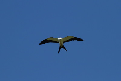 Swallow-tailed Kite Nominate subspecies Elanoides forficatus forficatus Family Accipitridae Lake Apopka Wildlife Drive, Apopka, Florida 7 July 2017