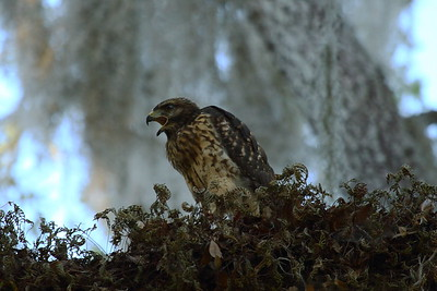 "Red-shouldered Hawk (juvenile) ""Florida"" subspecies Buteo lineatus alleni Family Accipitridae Circle B Bar Reserve, Lakeland, Florida 25 April 2017"
