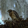 "Red-shouldered Hawk (juvenile)<br> ""Florida"" subspecies<br> <i>Buteo lineatus alleni</i><br> Family <i>Accipitridae</i><br> Circle B Bar Reserve, Lakeland, Florida<br> 25 April 2017"