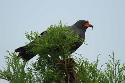 "Snail Kite ""Everglade"" subspecies Rostrhamus sociabilis plumbeus Family Accipitridae Lake Parker, Lakeland, Florida 20 July 2018"