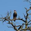 Northern Crested Caracara<br> <i>Caracara cheriway</i><br> Family <i>Falconidae</i><br> Avon Park, Florida<br> 9 March 2018