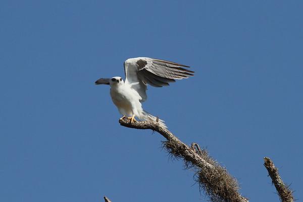 White-tailed Kite majusculus subspecies Elanus leucurus majusculus Family Accipitridae Kissimmee Prairie Preserve, Okeechobee, Florida 22 March 2017