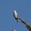 White-tailed Kite<br> <i>majusculus</i> subspecies<br> <i>Elanus leucurus majusculus</i><br> Family <i>Accipitridae</i><br> Kissimmee Prairie Preserve, Okeechobee, Florida<br> 22 March 2017