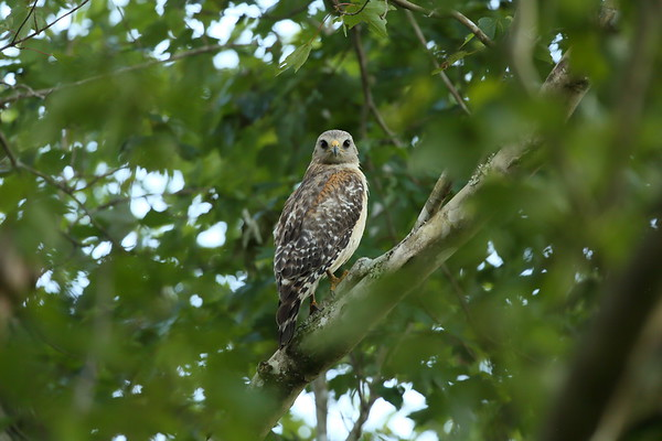 "Red-shouldered Hawk ""Florida"" subspecies Buteo lineatus alleni Family Accipitridae William J. Gentry, Jr. Memorial Eco Park, Sebring, Florida 08 May 2021"