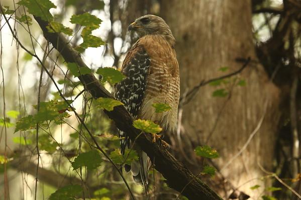"Red-shouldered Hawk ""Florida"" subspecies Buteo lineatus alleni Family Accipitridae Lake Istokpoga Park, Sebring, Florida 24 August 2020"