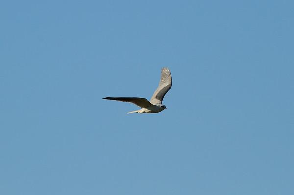 White-tailed Kite majusculus subspecies Elanus leucurus majusculus Family Accipitridae Avon Park Air Force Range, Highlands County, Florida 9 March 2018