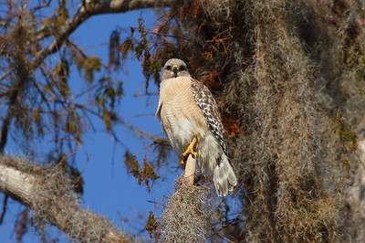 "Red-shouldered Hawk ""South Florida"" subspecies Buteo lineatus extimus Family Accipitridae Circle B Bar Reserve, Lakeland, Florida 22 January 2018"