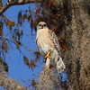 """Red-shouldered Hawk<br> """"South Florida"""" subspecies<br> <i>Buteo lineatus extimus</i><br> Family <i>Accipitridae</i><br> Circle B Bar Reserve, Lakeland, Florida<br> 22 January 2018"""
