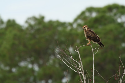 "Snail Kite (juvenile) ""Everglade"" subspecies Rostrhamus sociabilis plumbeus Family Accipitridae Lake Gwyn, Wahneta, Florida 9 November 2016"