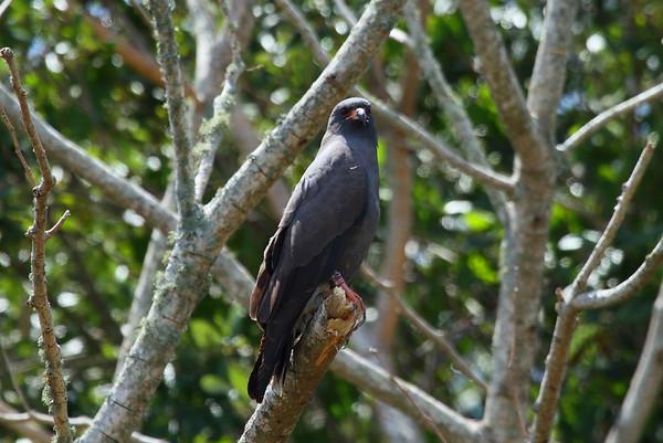 "Snail Kite ""Everglade"" subspecies Rostrhamus sociabilis plumbeus Family Accipitridae Lake Gwyn, Wahneta, Florida 25 April 2017"