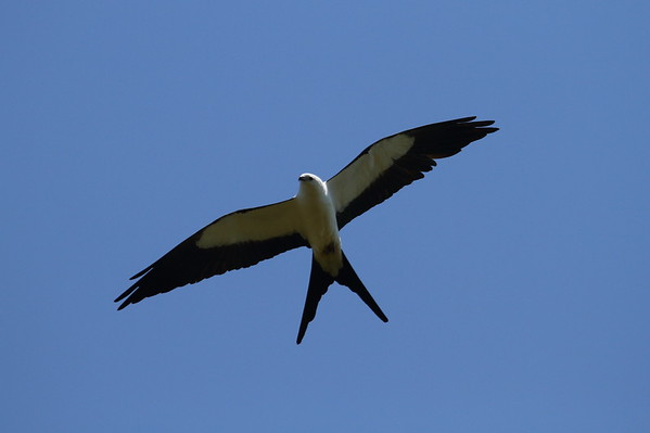 Swallow-tailed Kite Nominate subspecies Elanoides forficatus forficatus Family Accipitridae Avon Park Air Force Range, Highlands County, Florida 25 March 2018