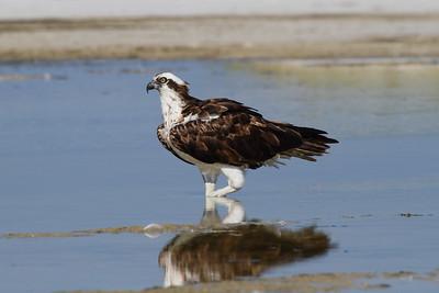 """Western Osprey """"American"""" subspecies Pandion haliaetus carolinensis Family Pandionidae Siesta Key Beach, Siesta Key, Florida 30 August 2017"""