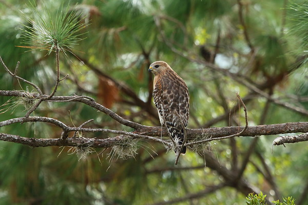 "Red-shouldered Hawk ""Florida"" subspecies Buteo lineatus alleni Family Accipitridae Avon Park Air Force Range, Polk County, Florida 27 October 2017"