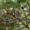 """Red-shouldered Hawk<br> """"Florida"""" subspecies<br> <i>Buteo lineatus alleni</i><br> Family <i>Accipitridae</i><br> Avon Park Air Force Range, Polk County, Florida<br> 27 October 2017"""
