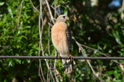 "Red-shouldered Hawk ""Florida"" subspecies Buteo lineatus alleni Family Accipitridae Avon Park Air Force Range, Polk County, Florida 30 March 2018"