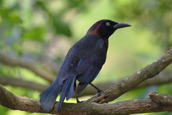 Common Grackle Nominate subspecies Quiscalus quiscula quiscula Wakodahatchee Wetlands, Delray Beach, Florida 15 April 2017