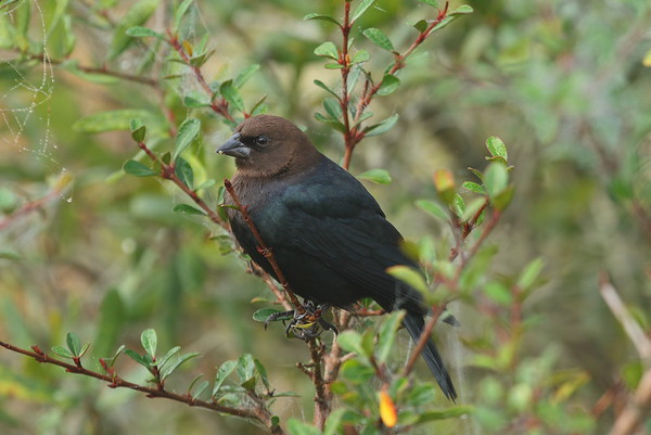 Brown-headed Cowbird (male) Nominate subspecies Molothrus ater ater Celery Fields, Sarasota, Florida 01 January 2019