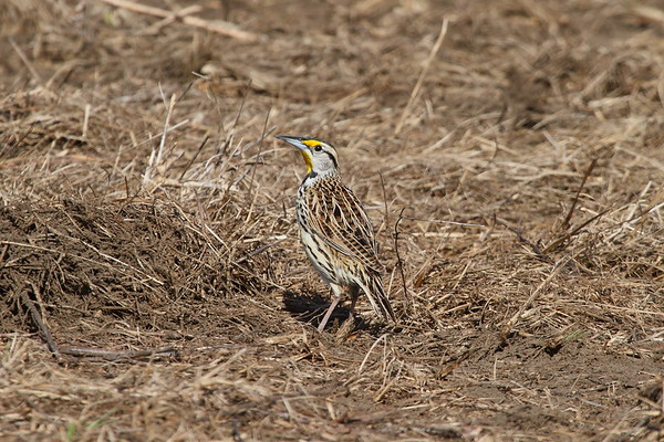 "Eastern Meadowlark ""Southern"" subspecies Sturnella magna argutula Dade City, Florida 30 January 2018"