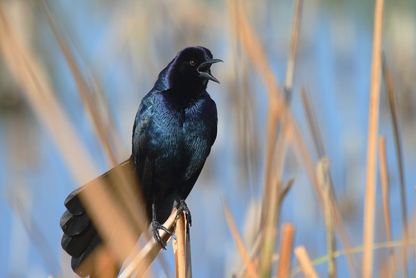 "Boat-tailed Grackle (male) ""Florida"" subspecies Quiscalus major westoni Viera Wetlands, Melbourne, Florida 20 February 2017"