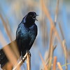 "Boat-tailed Grackle (male)<br> ""Florida"" subspecies<br> <i>Quiscalus major westoni</i><br> Viera Wetlands, Melbourne, Florida<br> 20 February 2017"