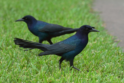 "Boat-tailed Grackle (male) ""Florida"" subspecies Quiscalus major westoni Lake Parker, Lakeland, Florida 11 October 2016"