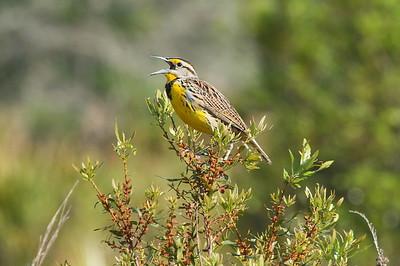 "Eastern Meadowlark ""Southern"" subspecies Sturnella magna argutula Kissimmee Prairie Preserve, Okeechobee, Florida 22 March 2017"