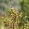 "Eastern Meadowlark<br> ""Southern"" subspecies<br> <i>Sturnella magna argutula</i><br> Kissimmee Prairie Preserve, Okeechobee, Florida<br> 22 March 2017"