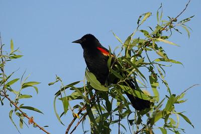 "Red-winged Blackbird (male) ""Florida"" subspecies Agelaius phoeniceus floridanus Circle B Bar Reserve, Lakeland, Florida 1 March 2018"