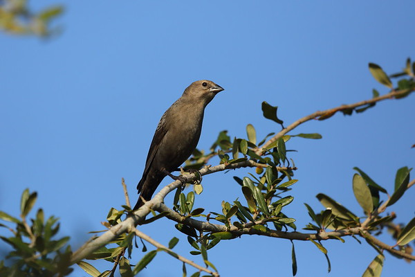 Brown-headed Cowbird (female) Nominate subspecies Molothrus ater ater Celery Fields, Sarasota, Florida 01 January 2021
