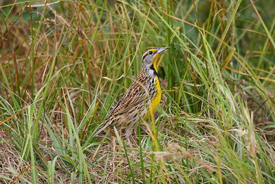 "Eastern Meadowlark ""Southern"" subspecies Sturnella magna argutula Twin Oaks Conservation Area, Kissimmee, Florida 26 December 2017"