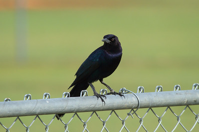 "Boat-tailed Grackle (male) ""Florida"" subspecies Quiscalus major westoni Pelican Baseball Complex, Cape Coral, Florida 26 October 2016"