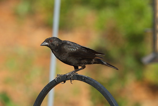 Bronzed Cowbird Nominate subspecies Molothrus aeneus aeneus Celery Fields, Sarasota, Florida 29 March 2017