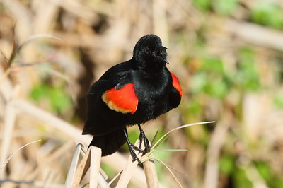 "Red-winged Blackbird (male) ""Florida"" subspecies Agelaius phoeniceus floridanus Viera Wetlands, Melbourne, Florida 20 February 2017"