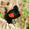 Red-winged Blackbird (male)<br> <i>mearnsi</i> subspecies<br> <i>Agelaius phoeniceus mearnsi</i><br> Viera Wetlands, Melbourne, Florida<br> 20 February 2017