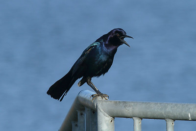 "Boat-tailed Grackle (male) ""Florida"" subspecies Quiscalus major westoni Celery Fields, Sarasota, Florida 29 November 2016"