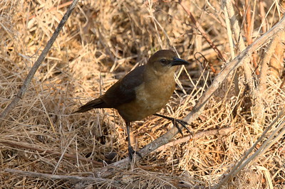 "Boat-tailed Grackle (female) ""Florida"" subspecies Quiscalus major westoni Circle B Bar Reserve, Lakeland, Florida 15 March 2017"