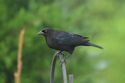 Bronzed Cowbird Nominate subspecies Molothrus aeneus aeneus Celery Fields, Sarasota, Florida 1 January 2019