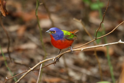 Painted Bunting (male) Nominate subspecies Passerina ciris ciris Huntington Beach State Park, Murrells Inlet, South Carolina 15 May 2018