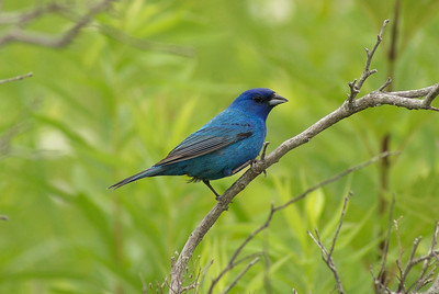 Indigo Bunting (male) Passerina cyanea Great Swamp Wildlife Management Area, West Kingston, Rhode Island 3 July 2011