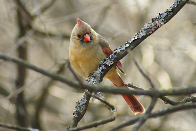 Northern Cardinal (female) Cardinalis cardinalis Britannia Conservation Area, Ottawa, Ontario 1 April 2010