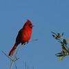 """Northern Cardinal (male)<br> """"Florida"""" subspecies<br> <i>Cardinalis cardinalis floridanus</i><br> Fort De Soto Park, Tierra Verde, Florida<br> 29 March 2017"""