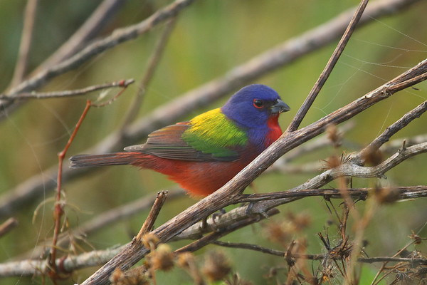 Painted Bunting (male) Nominate subspecies Passerina ciris ciris Circle B Bar Reserve, Lakeland Florida 22 January 2018