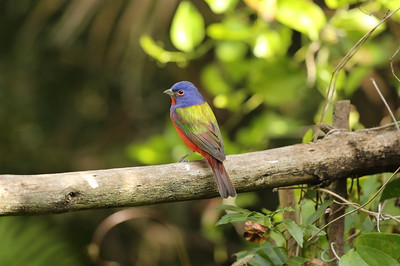 Painted Bunting (male) Nominate subspecies Passerina ciris ciris Corkscrew Swamp Sanctuary, Naples, Florida 28 January 2020