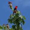 Scarlet Tanager (male)<br> <i>Piranga olivacea</i><br> Lackawanna Heritage Trail, Archbald, Pennsylvania<br> 24 June 2016