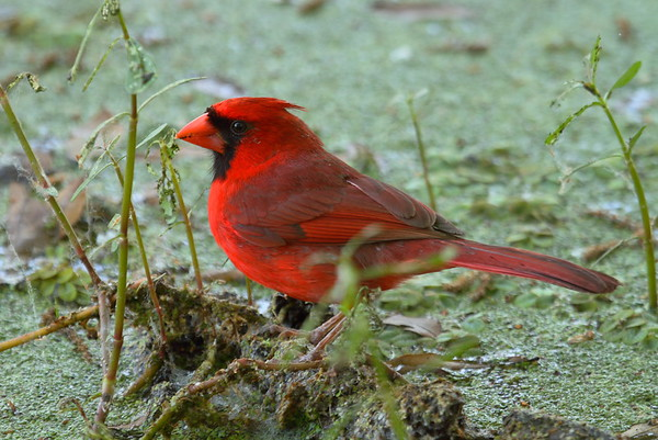 "Northern Cardinal (male) ""Florida"" subspecies Cardinalis cardinalis floridanus Circle B Bar Reserve, Lakeland, Florida 6 March 2018"