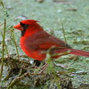 "Northern Cardinal (male)<br> ""Florida"" subspecies<br> <i>Cardinalis cardinalis floridanus</i><br> Circle B Bar Reserve, Lakeland, Florida<br> 6 March 2018"