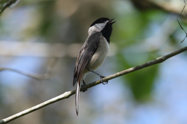 Carolina Chickadee Nominate subspecies Poecile carolinensis carolinensis Lettuce Lake Park, Tampa, Florida 28 February 2017