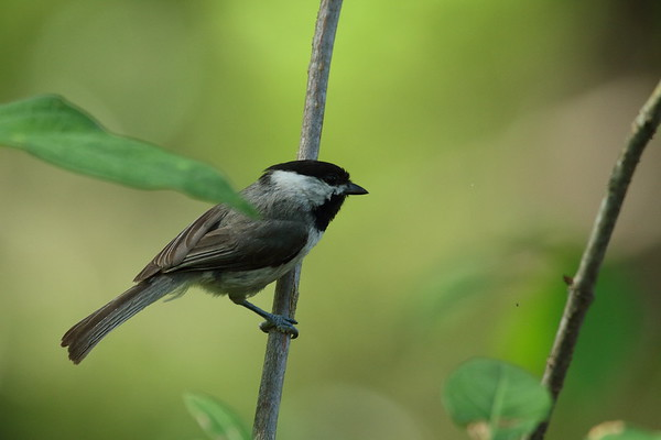 Carolina Chickadee Nominate subspecies Poecile carolinensis carolinensis Lettuce Lake Park, Tampa, Florida 16 May 2017