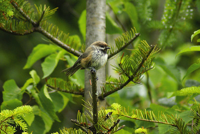 Boreal Chickadee Poecile hudsonicus North Pole Mountain, Christmas Mountains, New Brunswick 5 July 2010